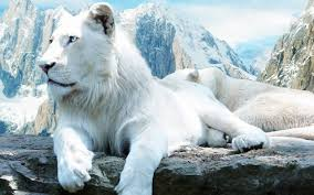 rare cat wallpapers white lion pictures white lions hd wallpapers hd wallpapers