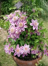 top 10 climbing plants for a small trellis small garden trellis