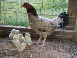 backyard chickens in virginia 28 images virginia page 210