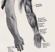 Anatomy Of The Right Arm Anatomy Arm Muscles Anatomy Pinterest Arm Muscles Muscle