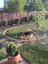 my in law u0027s german shepherd only runs in this perfect circle when