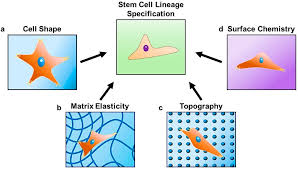 gels free full text hydrogels as extracellular matrix analogs