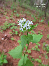 edible native plants foraging garlic mustard an edible invasive plant