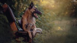 belgian shepherd victoria bench owl little owl dog plants belgian shepherd malinois