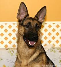 affenpinscher vs german shepherd g german shepherd dog heartprints pets