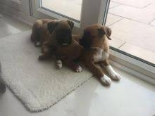 boxer dog quebec quebec boxer dogs puppies for sale classifieds at eclassifieds 4u