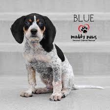 buy a bluetick coonhound puppy blue bayou a bluetick coonhound puppy muddy paws second