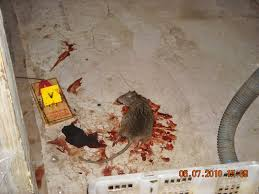 health inspector u0027s notebook rats in the city