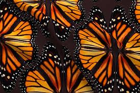 orange monarch butterfly wings smaller fabric bonnie phantasm