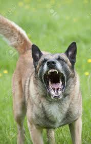 belgian malinois police snarling police dog showing teeth stock photo picture and royalty