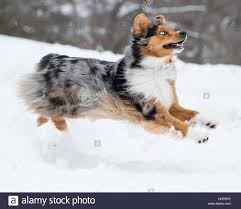 3 4 australian shepherd 1 4 blue heeler blue eyed australian shepherd dog stock photos u0026 blue eyed