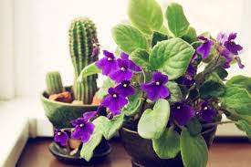 african violet grow light are african violets in trouble mnn mother nature network