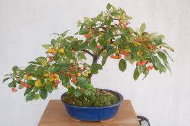 dwarf pomegranate tree bonsai punica granatum youtube
