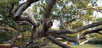 a dying 700 year banyan tree was brought back to with an iv
