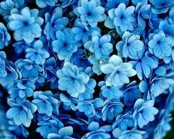 blue flower extraordinary light blue flower on hydrangea flowers background on