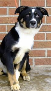 australian shepherd puppy 4 months 69 best humane society dogs and cats images on pinterest humane