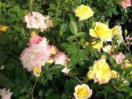 Fragrant Rose Plants - rainbows end yellow red miniature rose 2 gal live plants plant