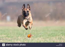 belgian shepherd ears stand up belgian malinois dog stock photo royalty free image 128514966