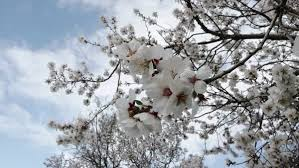 Trees With White Flowers Natural Spring Beauty Of Blooming Garden With Burgeoning Flowers