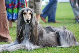 afghan hound job who let the dogs out asian dog breeds appearing at the