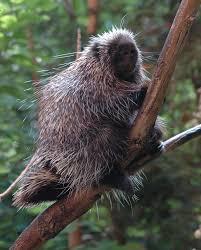 north american porcupine wikipedia