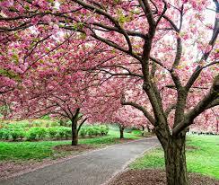 cherry blossom festivals a rite of spring cnn travel