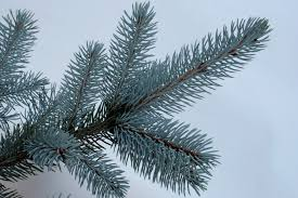 Real Christmas Trees Ipswich Norway Spruce And Serbian Spruce Christmas Trees Needlefresh Uk