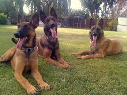 belgian shepherd standard belgian malinois dog breed info health pictures u0026 videos