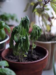 indoor spice garden basil diseases common basil plant problems