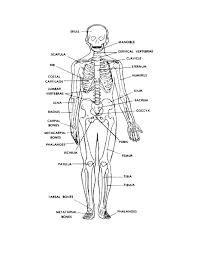 Human Anatomy Anterior Figure 4 3a Anterior View Of The Human Skeleton Basic Human