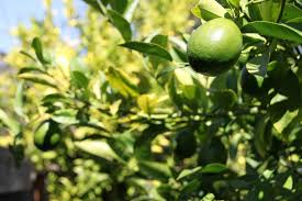 lime tree care tips for growing lime trees