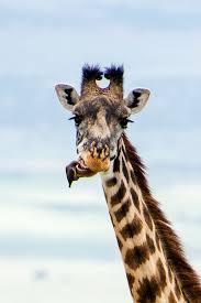 little bird cleans his giraffe friend u0027s teeth like a tiny helpful