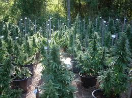 smoking weed in backyard cannabis in australia wikipedia