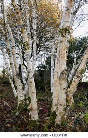 white bark of the ornamental birch betula utilis var
