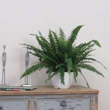 xl large boston fern indoor house plant u2013 bentleys
