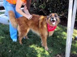 belgian sheepdog lab mix adopted tibido golden retriever belgian shepherd mix boy