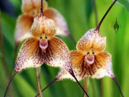 monkey orchid aboutorchids archive monkey orchids welcome the year of