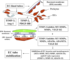 coregulation of vascular tube stabilization by endothelial cell