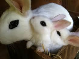 29 best hotot rabbits images on pinterest animals bunny rabbits