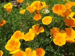 Yellow Orange Flowers - free 7art flowers clipart and wallpapers royalty free images