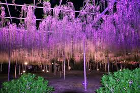 picture ashikaga flower park nature parks flowers wisteria night