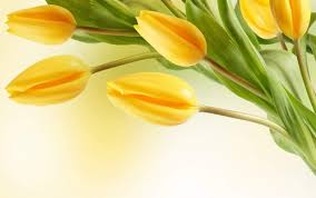 wallpaper bunga tulip flowers images yellow tulip hd wallpaper and background photos