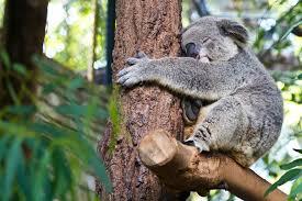 the interesting reason koalas are always hugging trees theblaze