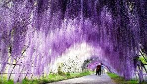 japan flower tunnel the wisteria flower tunnel at kawachi fuji garden japan