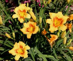 stella daylily daylily fertilizing stella d oro walter reeves the