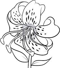 how to draw a tiger lily step by step drawing guide by