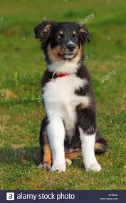 3 4 australian shepherd 1 4 blue heeler australian shepherd eyes stock photos u0026 australian shepherd eyes