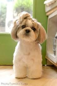 pictures of shih tzu haircuts click visit site and check out best shih tzu t shirts this