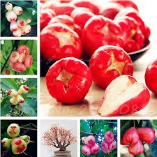 eatable fruit wax apple fruit seeds 50 pcs delicious non gmo fruit seeds edible