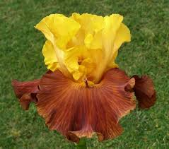 autumn colors u2013 sutton iris